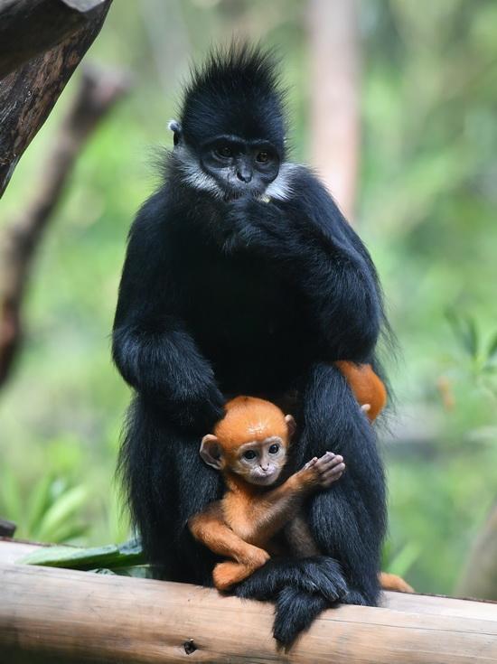 """5月13日,黑叶猴""""笑笑""""和她的龙凤胎宝宝在一起。新华社记者 刘大伟 摄"""