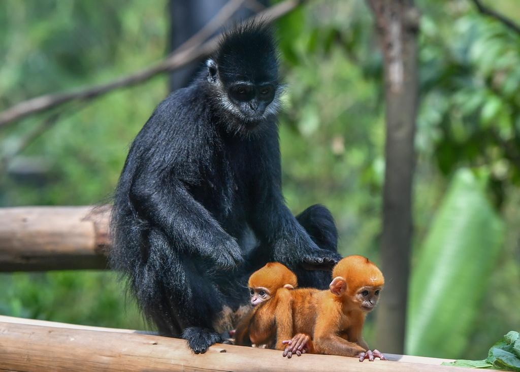 """5月13日,黑叶猴""""笑笑""""和她的龙凤胎宝宝在一起。 新华社记者 刘大伟 摄"""
