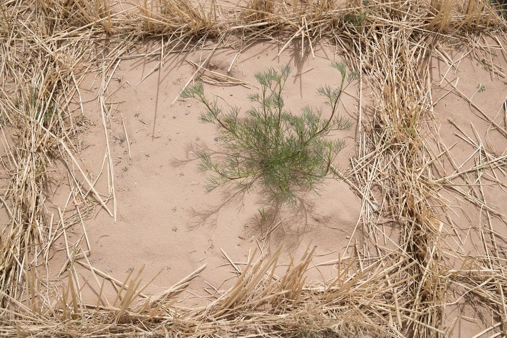 栽植了固沙灌木的一处沙区的土壤(5月12日摄)。新华社记者 金立旺 摄