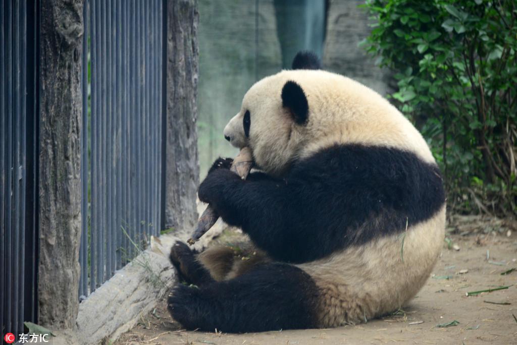 北京动物园大熊猫吃相惹人爱