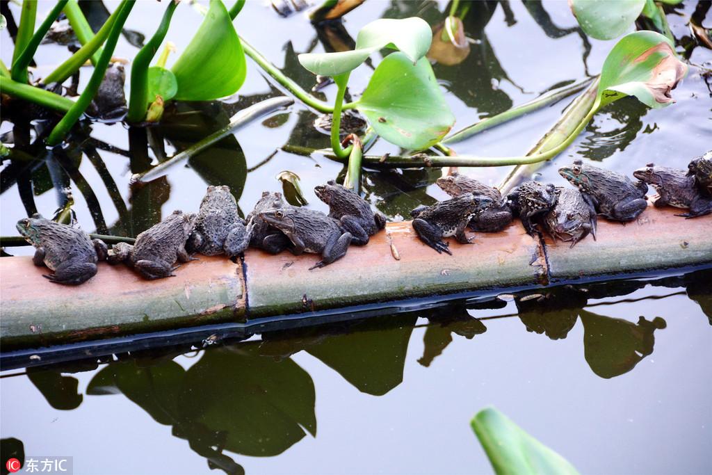 二十万青蛙做客花都志惠农场占塘为王 农场主急盼