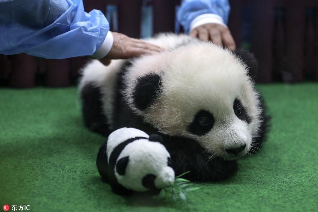 马来西亚新生大熊猫宝宝首亮相 小手捂耳朵表情萌翻了