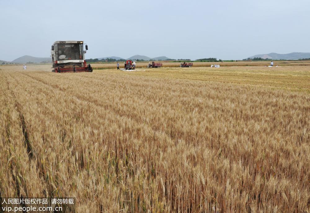 国内大规模小麦跨区机收全面展开   大会战全面启动