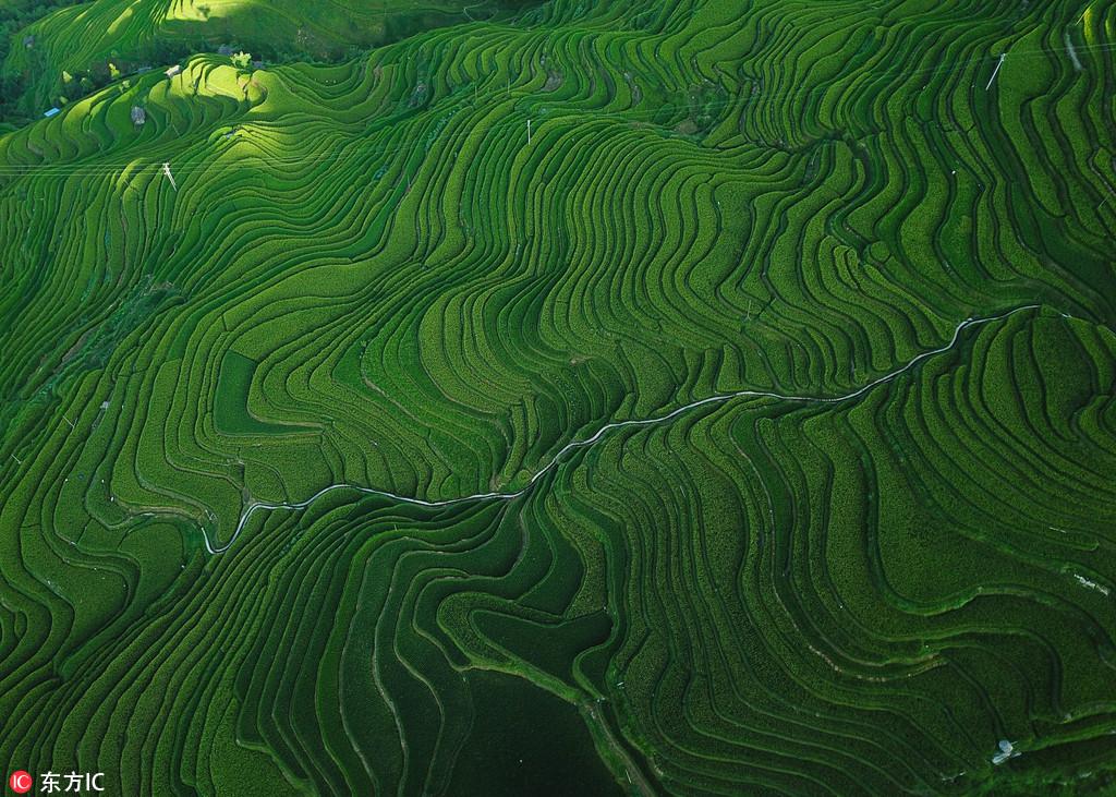 2018年8月1日,盛夏時節,位於貴州省黔東南苗族侗族自治州從江縣加榜梯田猶如一條條美麗的絲帶,十分壯觀。苗鄉特有的吊腳樓散落其中,與自然融為一體,構成了一幅幅美麗的中國山水畫,景色迷人,讓游客流連忘返。加榜梯田位於月亮山腹地,這裡至今沿襲著古老的農耕方式,在荒山上開墾出層層梯田,以植水稻為生,從而保存了中國最古老的稻作文化,是聯合國糧農組織稻魚鴨共生系統全球重要農業文化遺產保護地。劉朝富/東方IC