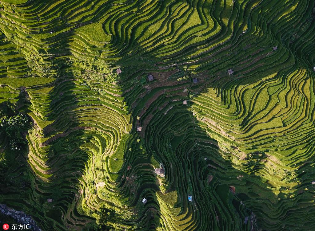 2018年8月1日,盛夏时节,位于贵州省黔东南苗族侗族自治州从江县加榜梯田犹如一条条美丽的丝带,十分壮观。苗乡特有的吊脚楼散落其中,与自然融为一体,构成了一幅幅美丽的中国山水画,景色迷人,让游客流连忘返。加榜梯田位于月亮山腹地,这里至今沿袭着古老的农耕方式,在荒山上开垦出层层梯田,以植水稻为生,从而保存了中国最古老的稻作文化,是联合国粮农组织稻鱼鸭共生系统全球重要农业文化遗产保护地。刘朝富/东方IC