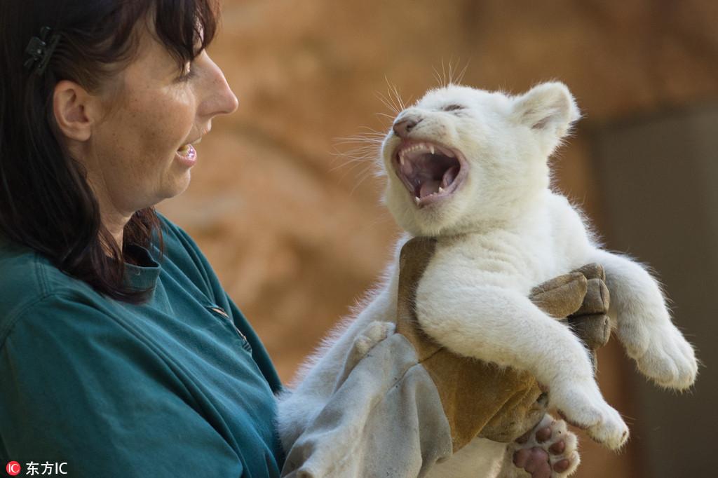 """德国动物园珍稀白狮宝宝接受体检 对饲养员怒吼咆哮""""我超凶的"""""""