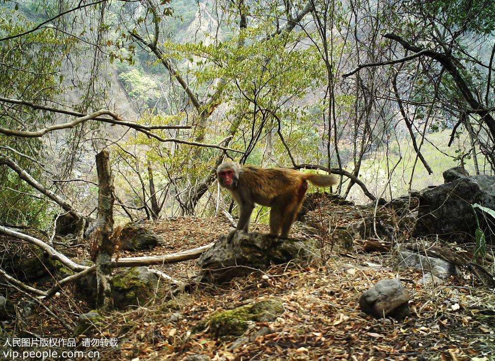 省级自然保护区管护局用红外相机拍摄到的国家Ⅱ级重点保护动物猕猴.