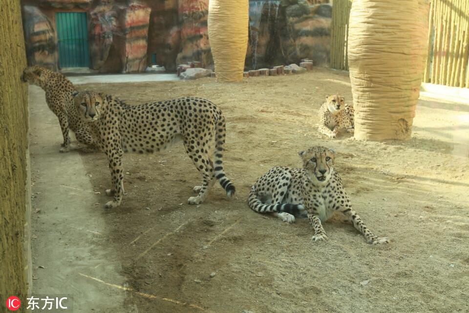 """河南首次引进10只南非猎豹!在郑州市动物园""""安家""""【2】"""