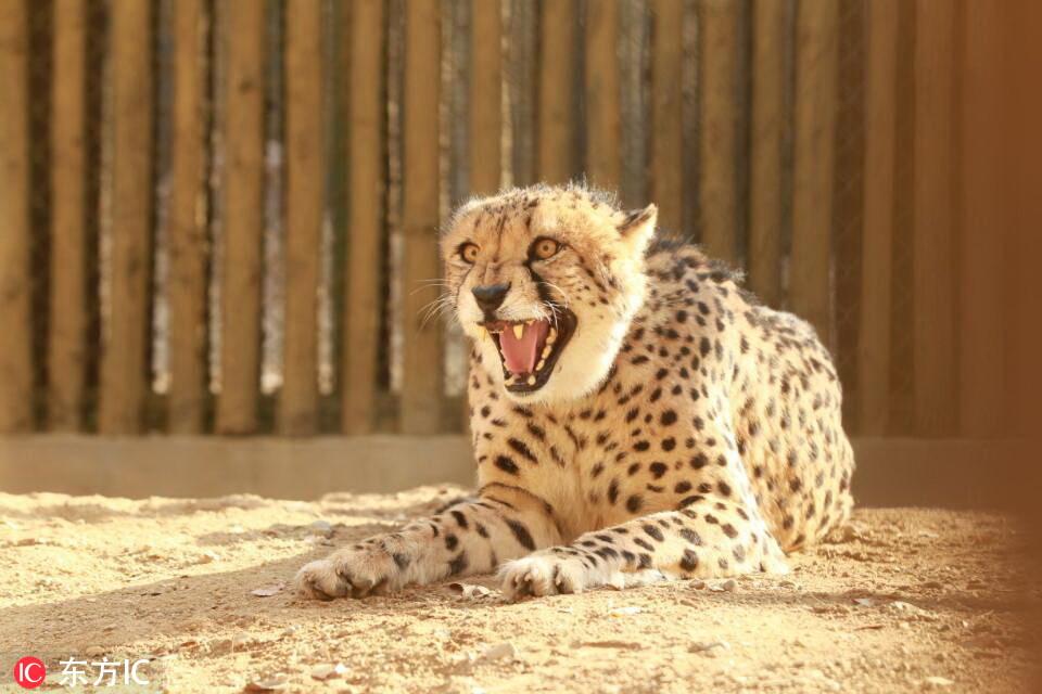 """河南首次引进10只南非猎豹!在郑州市动物园""""安家""""【3】"""