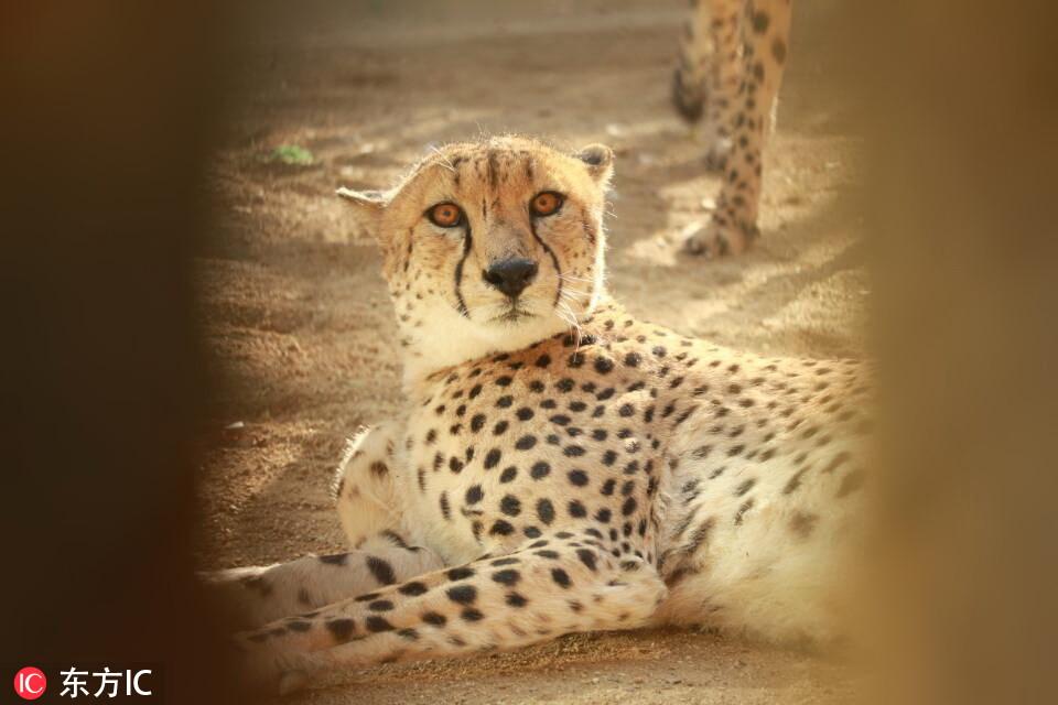 """河南首次引进10只南非猎豹!在郑州市动物园""""安家"""""""