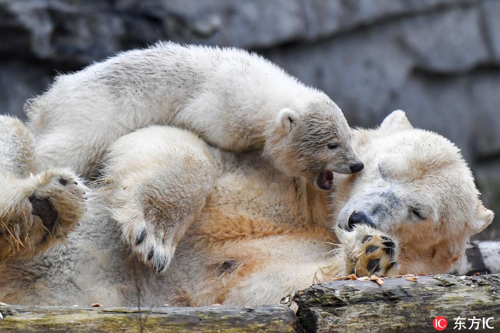 柏林动物园北极熊宝宝皮上天 花式搅扰妈妈午睡实力坑