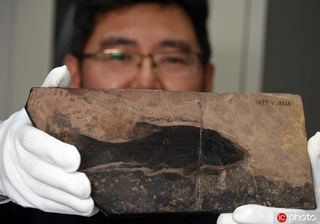 中国科学家发现2.44亿年前优美玉带鱼