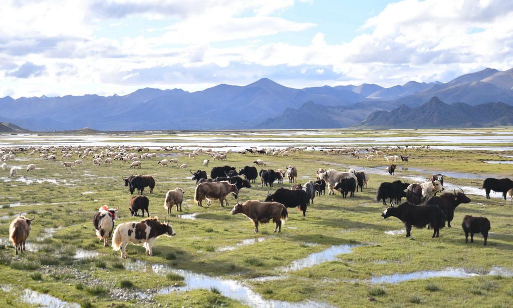 藏北草原上的牛羊(2017年8月27日摄)。新华社记者 晋美多吉 摄