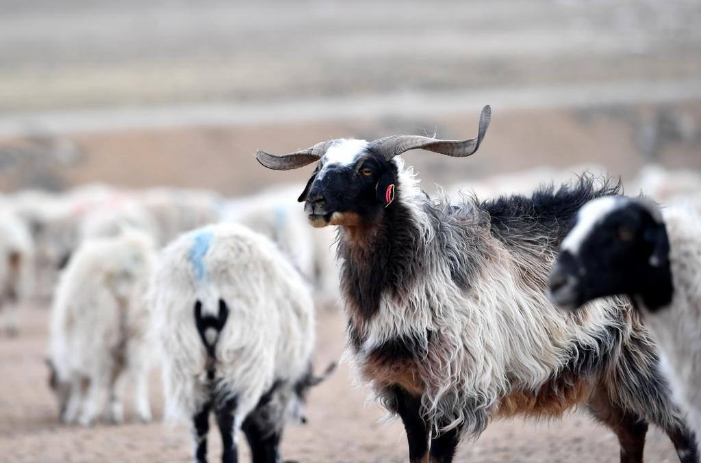 西藏那曲牧场上的绵羊(2019年1月17日摄)。 新华社记者 觉果 摄