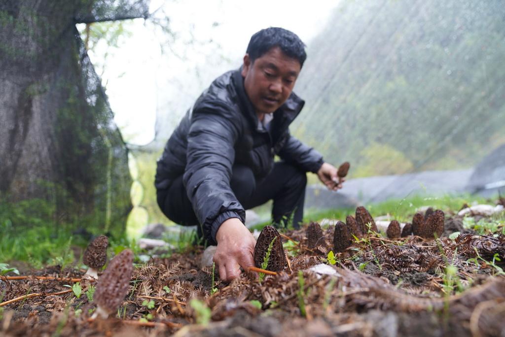 在西藏波密县扎木镇巴琼村,嘎松罗布在进行羊肚菌母种培养试验(2018年5月5日摄)。新华社记者 晋美多吉 摄