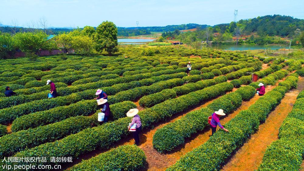 在江西省吉安市泰和县武山垦殖场丘陵生态茶园,贫困农民在丘陵茶园