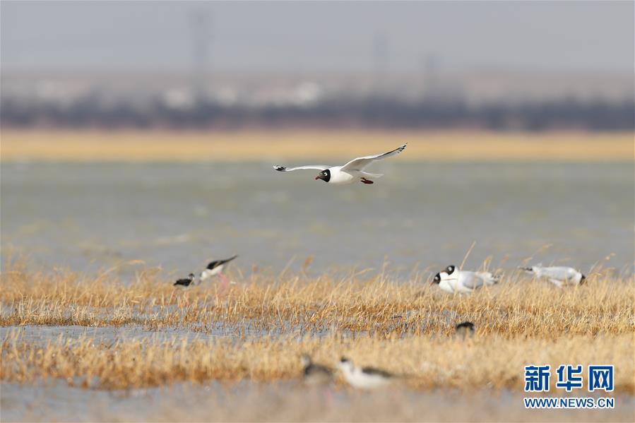 大批遗鸥重返鄂尔多斯湿地