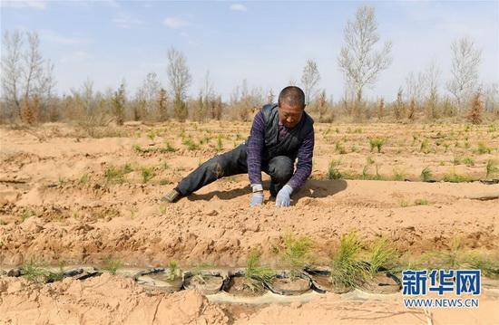 陕西省榆林市靖边县东坑镇毛团村的村民在栽种樟子松树苗(4月4日摄)。新华社记者 刘潇 摄
