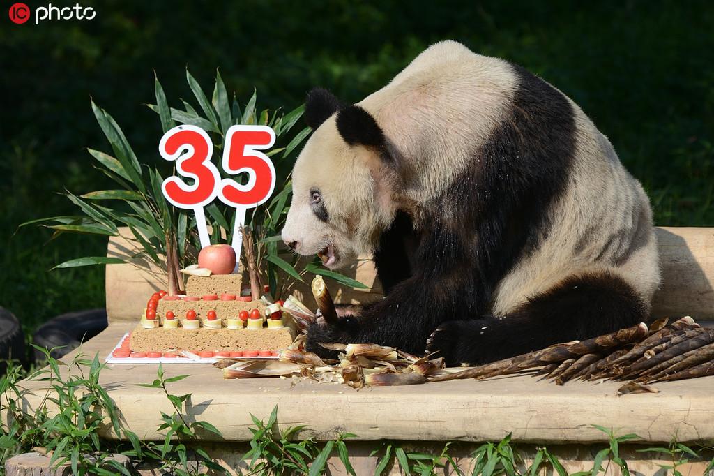 """熊猫界的""""百岁老人"""" 后代137只已是""""五世同堂"""""""