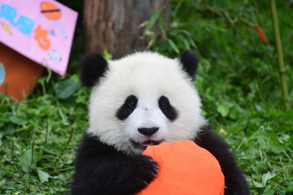 7月25日在中国大熊猫保护研究中心神树坪基地拍摄的大熊猫。
