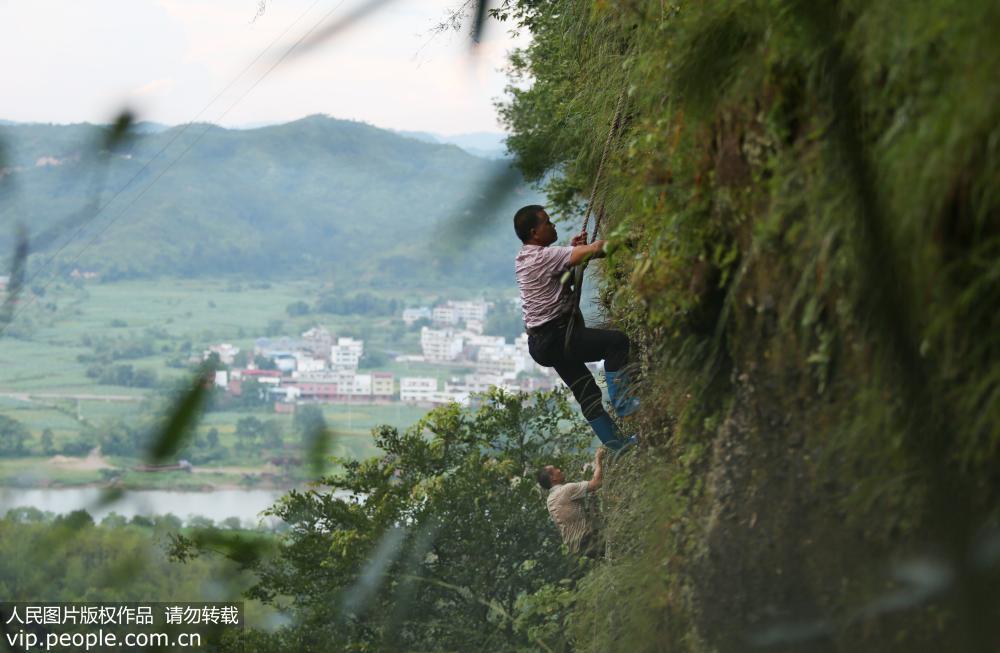 """江西石城:悬崖上采摘""""千金草""""【2】"""