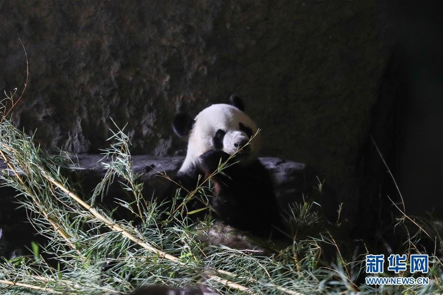 """(国际)(5)旅比大熊猫""""好好""""产下龙凤胎"""