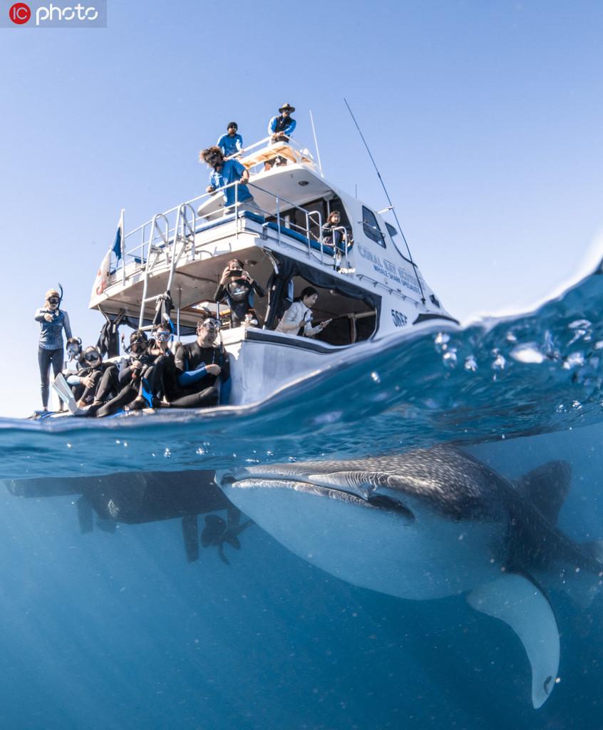 澳洲最富好奇心鲸鲨 跟船15分钟