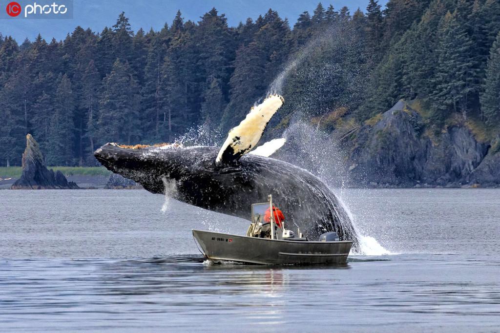 最精彩瞬间!阿拉斯加座头鲸从船旁突然跃出