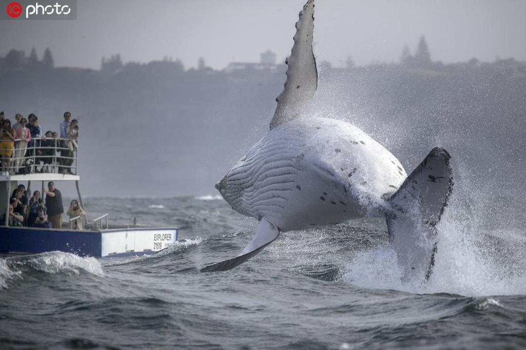 座头鲸宝宝腾空跃出海面