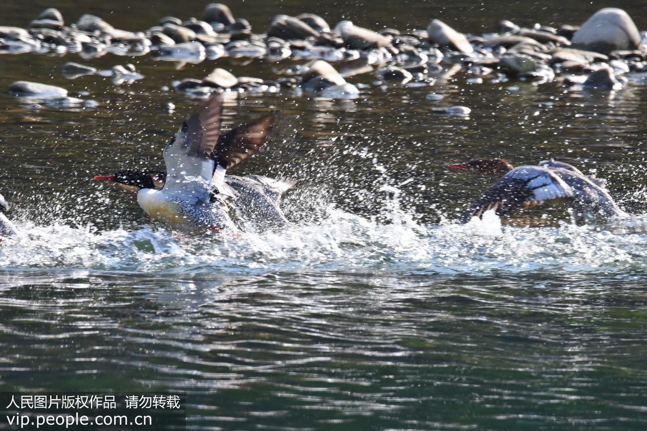 """""""鸟类大熊猫"""" 中华秋沙鸭现身浙江永嘉水域"""