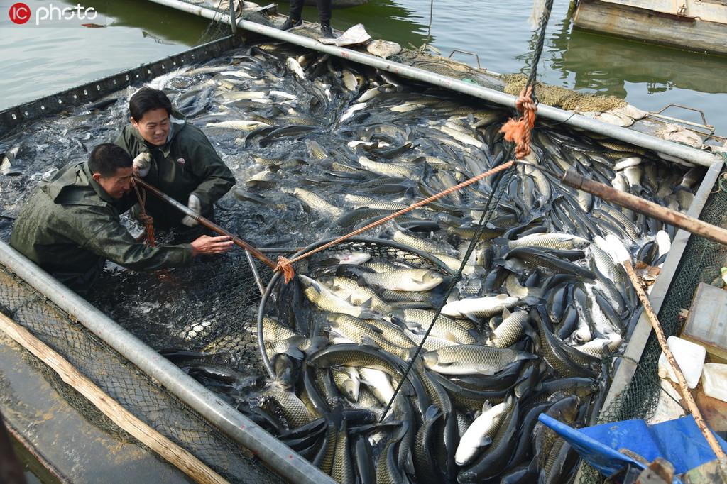 3月3日,江苏省连云港市东海县石梁河镇海陵湖渔民正在销售起网捕获草鱼。