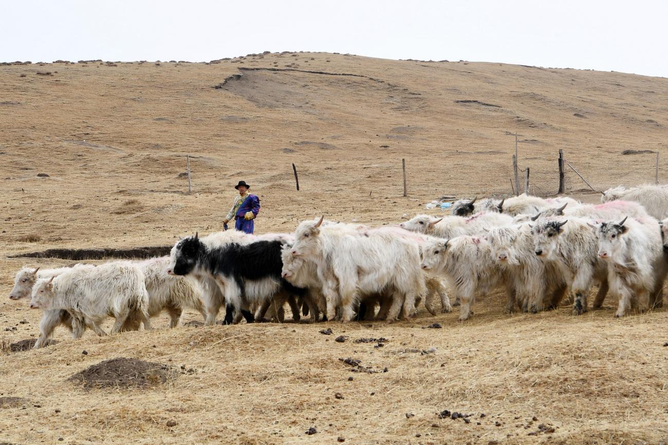3月12日,在天祝藏族自治县抓喜秀龙镇南泥沟村,宋天柱准备将白牦牛从草原赶回圈舍。