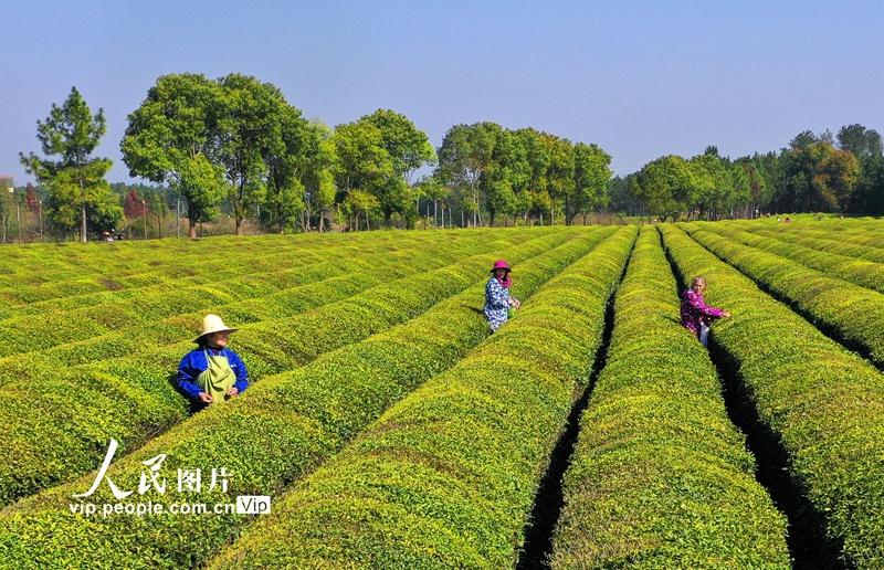 江西泰和:春日茶园采茶忙