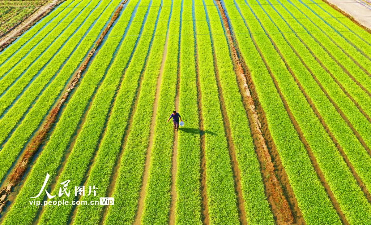 4月15日,江西省赣州市大余县池江镇庄下村种粮大户袁运生在田间给水稻秧苗施肥。