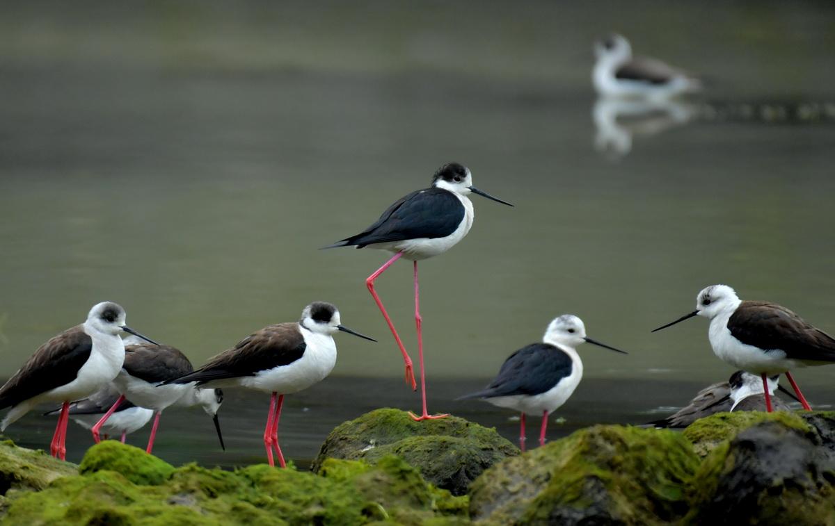 """这是4月18日在湖北省宣恩县贡水河国家湿地公园拍摄的""""红腿娘子""""黑翅长脚鹬。"""