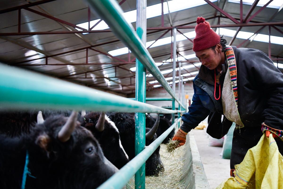 青海省黄南藏族自治州泽库县宁秀乡拉格日村牧民多杰才旦在合作社的牛棚里喂牛(2019年1月17日摄)。新华社记者 张龙 摄