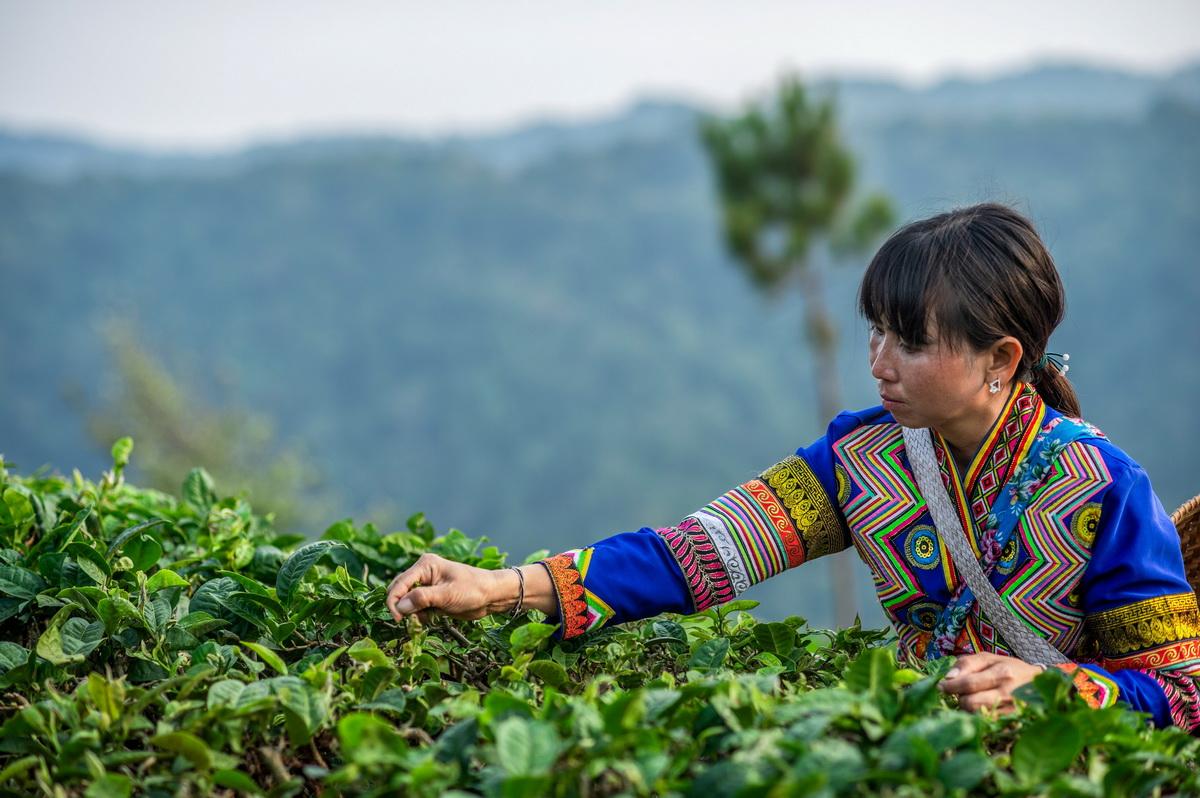 4月11日,在云南省勐海县布朗山乡,拉祜族妇女娜四在采茶。原本连育秧苗、撒化肥都不会的娜四,在扶贫干部指导下,全家经过几年发展已种下18亩茶树。除了茶树,娜四家去年还种了4亩水稻,一年就收了2000多公斤稻谷。