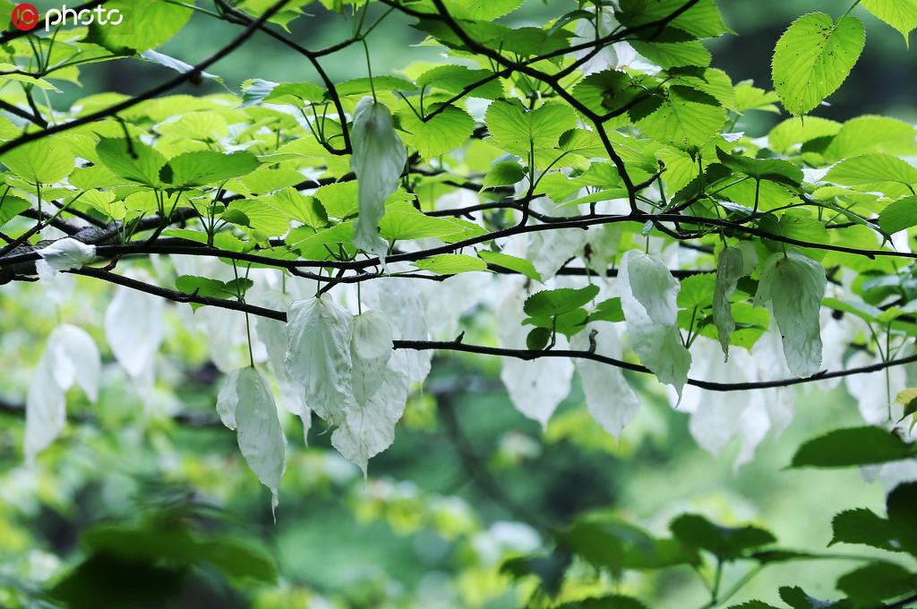 5月17日,在重庆市黔江国家森林公园灰千梁子景区,珙桐花像鸽子一样翩翩起舞。
