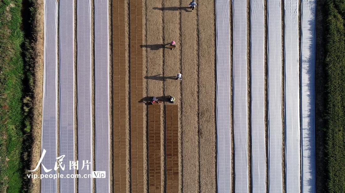 """5月19日,山东省临沂市郯城县大丰收家庭农场工人在使用""""水稻流水线育秧机""""育秧。"""