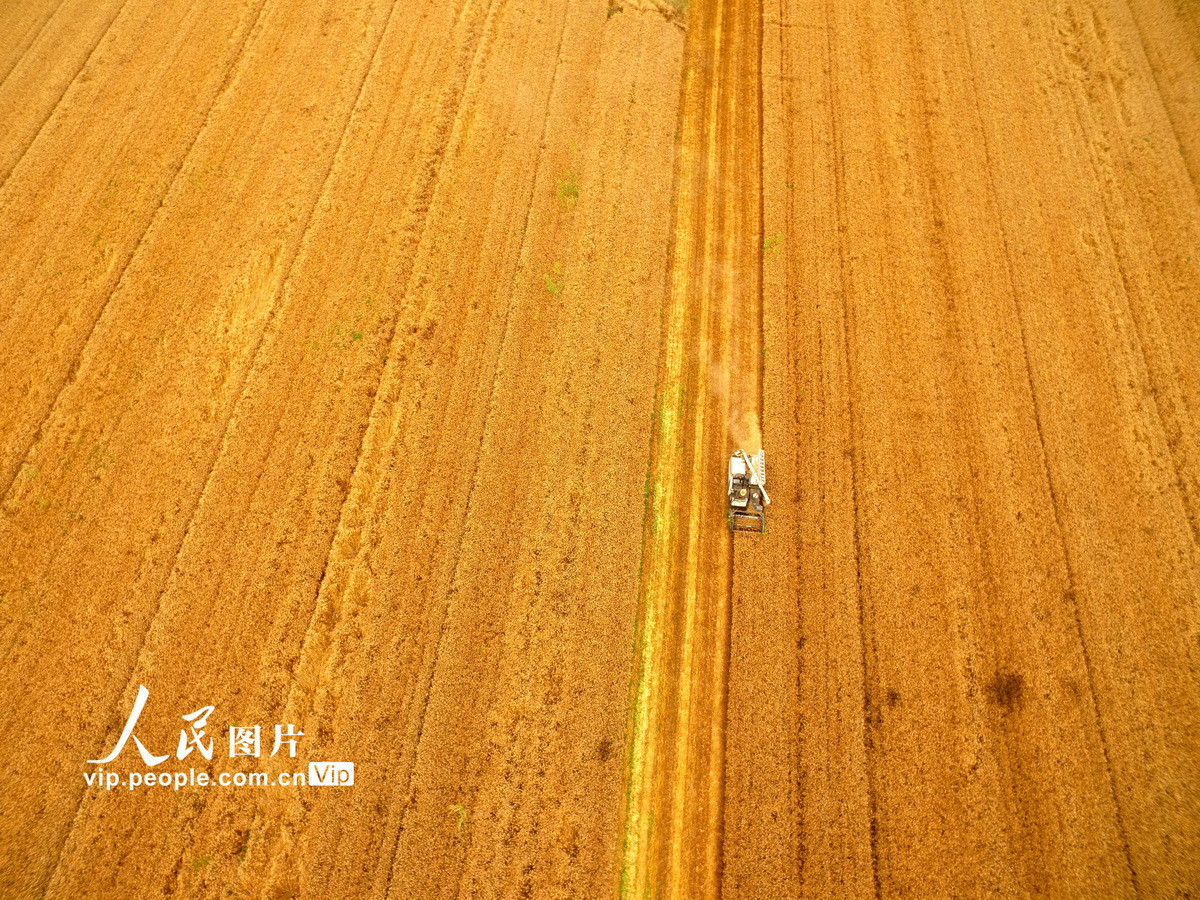 江西九江:长江绿洲麦收忙