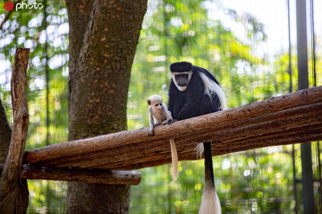 江苏扬州:首次繁殖成功的黑白疣猴与游客正式见面