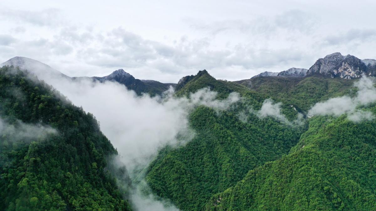这是5月27日拍摄的雨后云雾缭绕的岷山(无人机照片)。