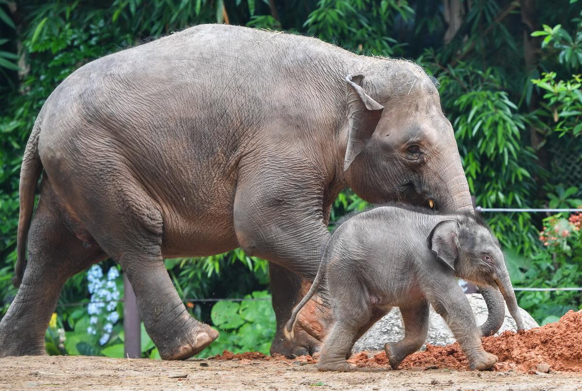 5月27日,广州长隆的新生亚洲象宝宝在妈妈的陪伴下玩耍。