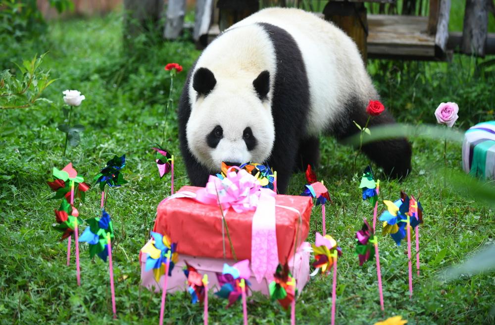 """<b>大熊猫""""初心""""与""""牧云""""迎来4岁生日</b>"""