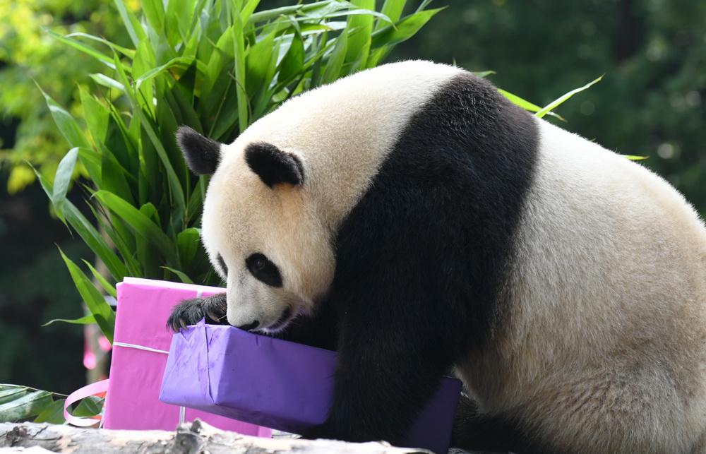 """7月30日,大熊猫""""牧云""""准备拆开工作人员为它准备的生日礼物。"""