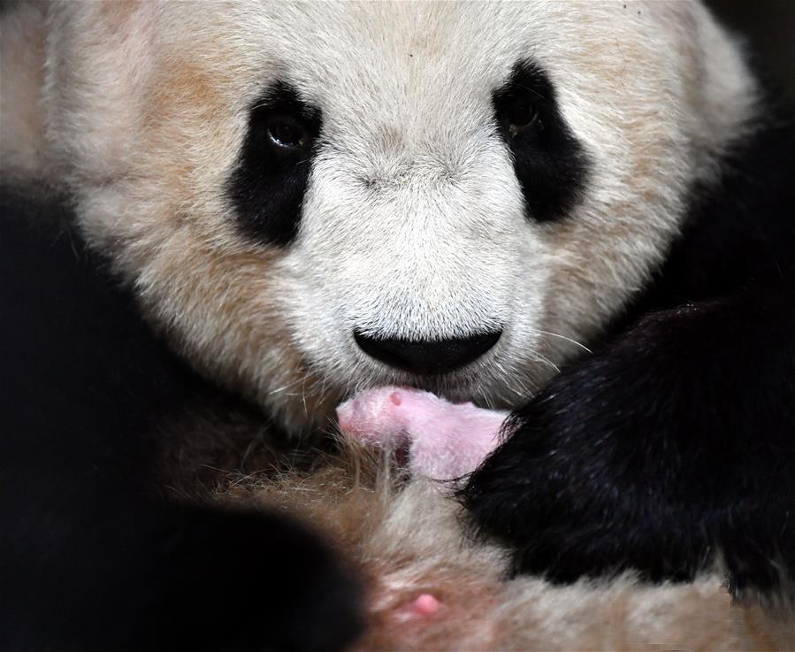 8月22日,在位于陕西西安的秦岭大熊猫研究中心,大熊猫永永与新出生的大熊猫幼仔在一起。