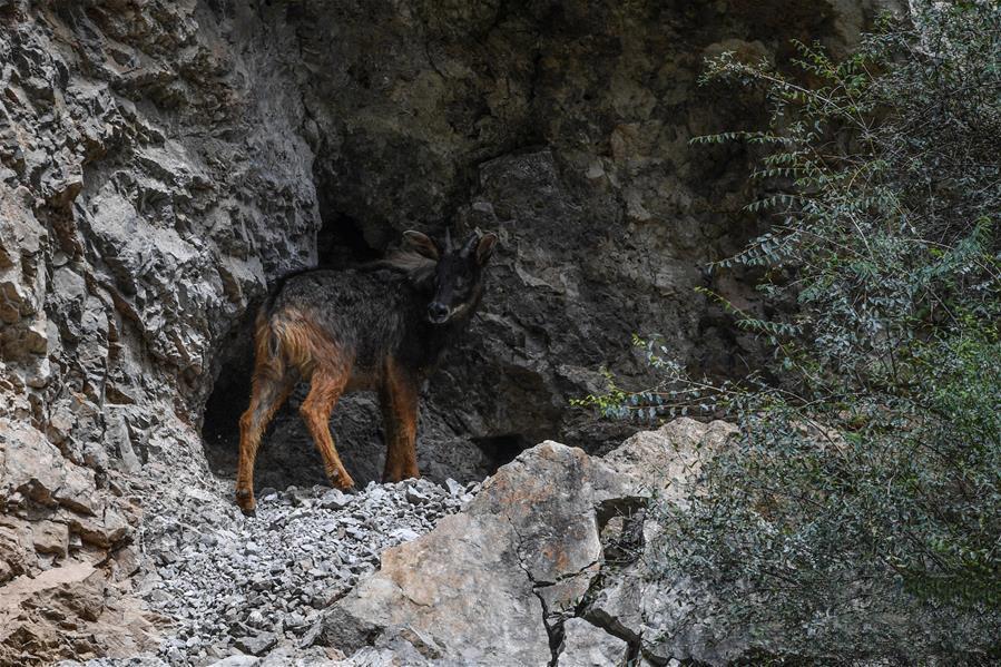 这是8月29日在青海省玉树藏族自治州囊谦县白扎乡白扎林场拍摄到的中华鬣羚。