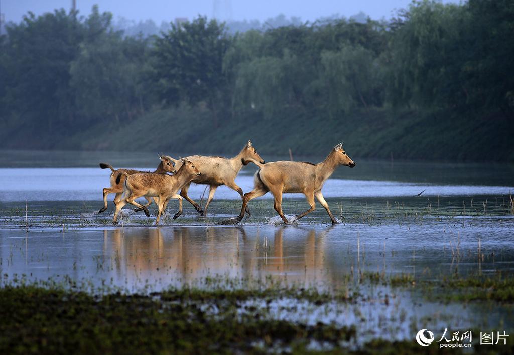 江苏盐城:黄海野鹿荡成野生麋鹿的生态家园