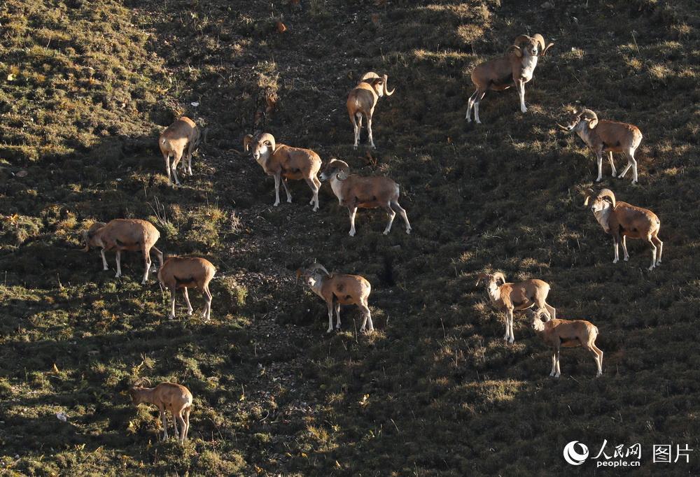 9月5日,成群的盘羊在深山觅食。