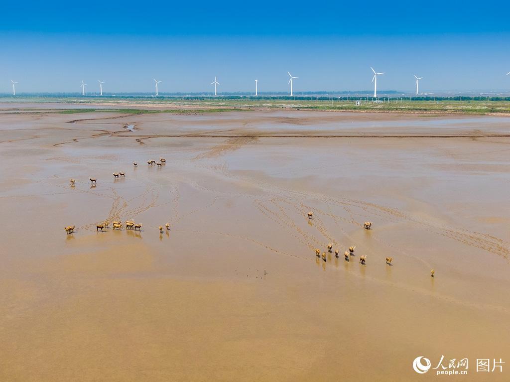 黄海湿地成麋鹿休养生息自然栖息地【4】